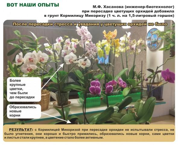 результат применение микоризы на орхидеях
